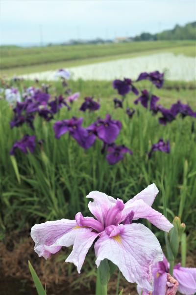 梅雨の雨に濡れて、水田の中で静かに咲く花菖蒲