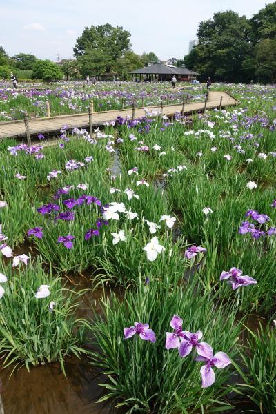 【東京良爺散歩 Tokyo Easy Sampo 初夏の東村山市】花盛りの菖蒲園と黄昏の湖の巻