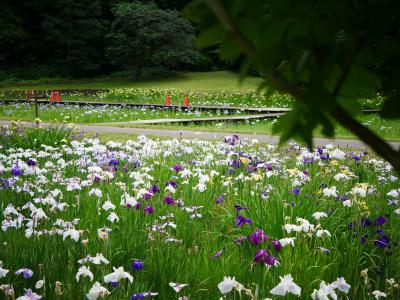 佐倉城址公園の菖蒲園-2021.6-