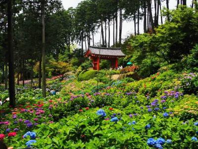 紫陽花の名所、宇治の三室戸寺と錦市場の冨美家の甘ぎつねうどん まん延防止の横浜から緊急事態宣言下の京都へ