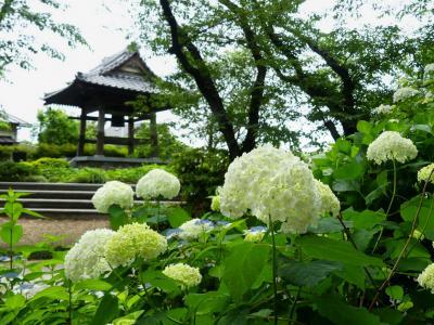 「常楽寺」のアジサイ_2021_6月3日は、咲き始めでした(群馬県・太田市)