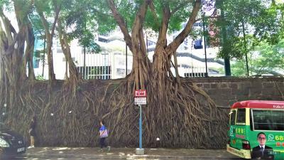 壁から樹が生えてる? 堅尼地城・科士街のストーン・ウォール・ツリーが熱い!
