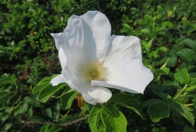 2021初夏、東山植物園のバラ(4/8):6月9日(4):粉粧楼、オールド・ブラッシュ、ハマナス、ライラック・ローズ