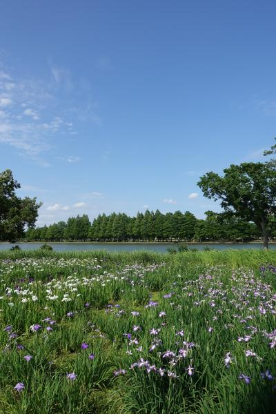 【東京良爺散歩 Tokyo Easy Sampo 初夏の葛飾区】北欧風の景色の菖蒲園の巻