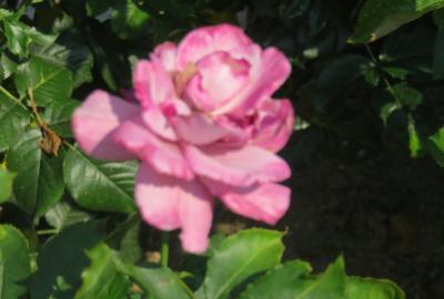 2021初夏、東山植物園のバラ(6/8):6月9日(6):ロイヤル・プリンセス、ダイアナ・プリンセス、プリンス・モナコ
