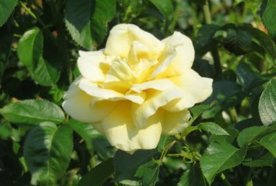 2021初夏、東山植物園のバラ(7/8):6月9日(7):カルト・ブランジュ、ハイネス雅、プリンセス・アイコ、桜貝