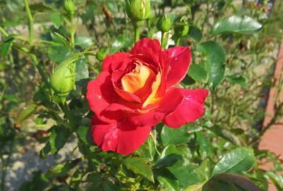 2021初夏、東山植物園のバラ(8/8):6月9日(8):カクテル、ツル・ノック・アウト、アイスバーグ、ピース、希望