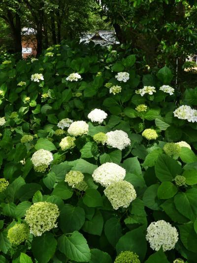 「長柄神社」のアジサイ_2021_6月3日、一部で開花始まるが、多くは蕾が出始め(群馬県・邑楽町)