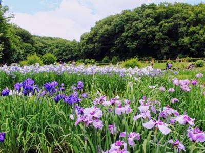【2021年】6月は紫が似合う季節。吹上の菖蒲と塩船の紫陽花はピーク後半です。