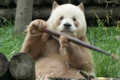 【1】茶色いパンダ「チーザイ」を見に西安へ(秦嶺四宝科学公園)