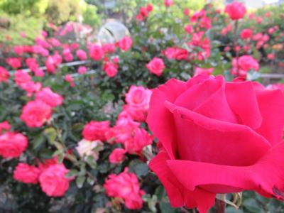 早朝散歩で片山公園の薔薇園