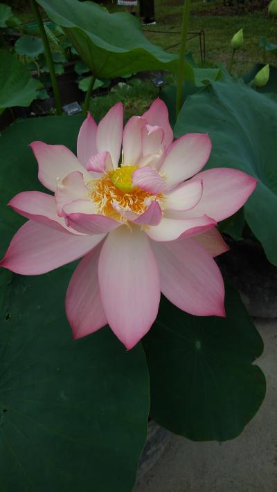 京都植物園の四季-番外編3 鮮やかな色彩の初夏の花