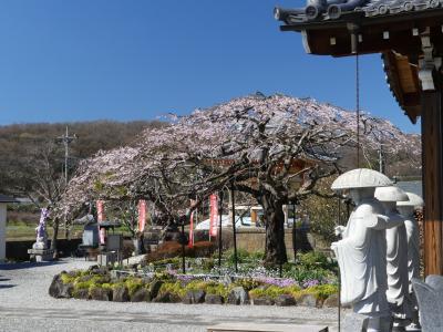 「成就院」の枝垂れ桜_2021_3月23日には、5分咲きくらいでした(栃木県栃木市)