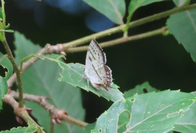 2021森のさんぽ道で見られた蝶(27)ミズイロオナガシジミ、ツバメシジミ、キチョウ、モンキチョウ等