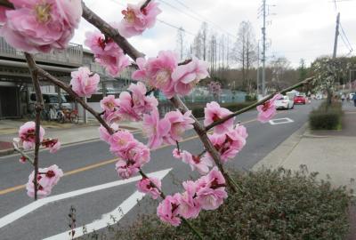 2021早春、名古屋市農業センターの枝垂れ梅(1/7):3月1日(1):街路樹の枝垂れ梅、緑咢枝垂れ、呉服枝垂れ