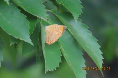2021森のさんぽ道で見られた蝶(28)アカシジミ、ウラナミアカシジミ、ツバメシジミ、ルリシジミ等