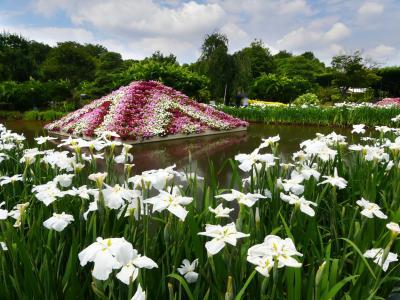 「あしかがフラワーパーク」のハナショウブ_2021_綺麗に咲き揃って見頃継続中(足利市)