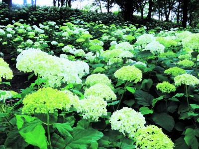2021年6月、紫陽花の神戸市立森林植物園へ!