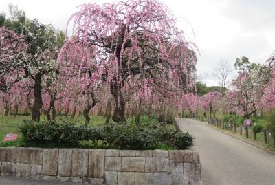 2021早春、名古屋市農業センターの枝垂れ梅(2/7):3月1日(2):マンサク、サンシュユ、一重緑咢枝垂れ