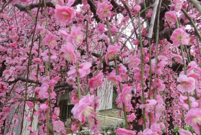 2021早春、名古屋市農業センターの枝垂れ梅(3/7):3月1日(3):呉服枝垂れ、白滝枝垂れ、緑咢枝垂れ