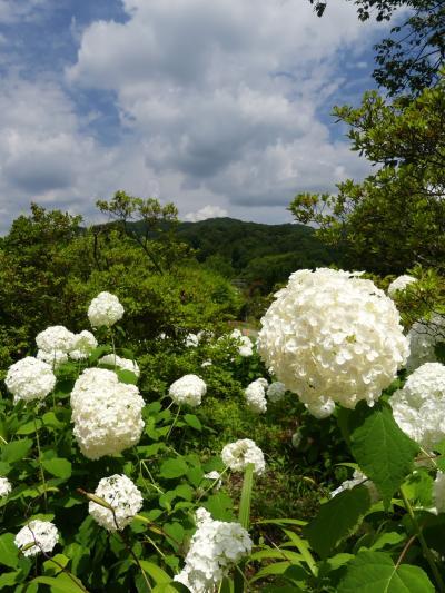 「あしかがフラワーパーク」のアジサイ_2021_見頃継続中です(栃木県・足利市)
