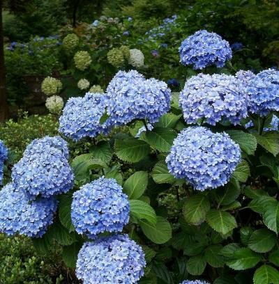 団塊夫婦の日帰り花巡りドライブー(4)アジサイを見に町田薬師池公園へ