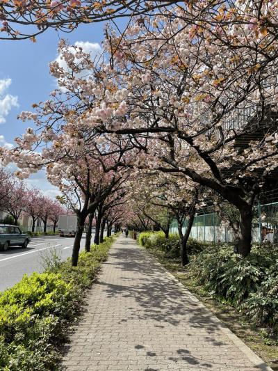 江戸桜は色とりどり