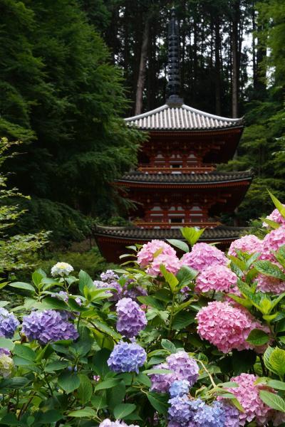20210625-1 加茂 岩船寺の紫陽花が見頃で、三重塔とか池とかにも映えて