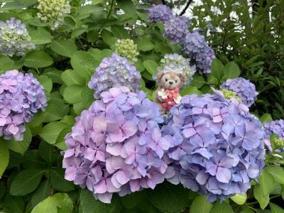 満開の紫陽花を愛で♪ヘザー・ブラウンのTシャツ買って♪鉄瓶に悩む!!八景島に行ってきましたぁ~!