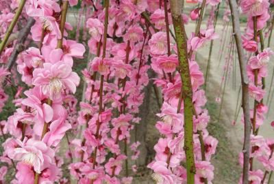 2021早春、名古屋市農業センターの枝垂れ梅(5/7):3月1日(5):竹林、コクマザサ、馬酔木、給水塔