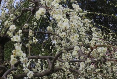 2021早春、名古屋市農業センターの枝垂れ梅(6/7):3月1日(6):ソシンロウバイ、クリスマス・ローズ