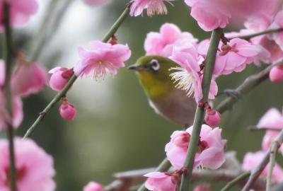 2021早春、名古屋市農業センターの枝垂れ梅(7/7):3月1日(7):メジロ、パンジー、菜の花、ツバキ