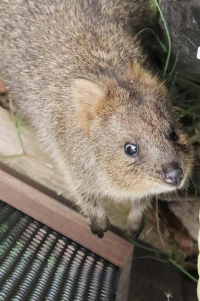 赤ちゃんラッシュの真夏日の6月の埼玉こども動物自然公園(東園)コアラ全員とひとなつっこいクオッカ・ピオニちゃん&好奇心旺盛ワラビーの赤ちゃん