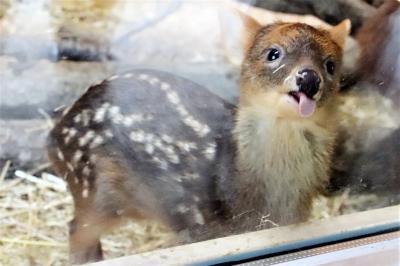 赤ちゃんラッシュの真夏日の6月の埼玉こども動物自然公園(北園)レッサーパンダ屋外展示あり!~プーズーのフジくんほか北園の赤ちゃんは全員会えた