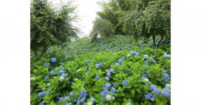 青の癒し空間へ、男鹿半島・雲昌寺のアジサイ。