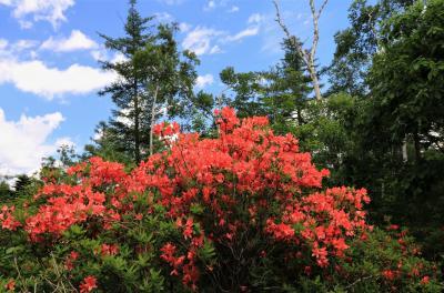 緊急事態宣言でも写真は撮りたい 八千穂高原のレンゲツツジ♪&苔の森から白駒池♪&名倉川の岩ツツジ♪