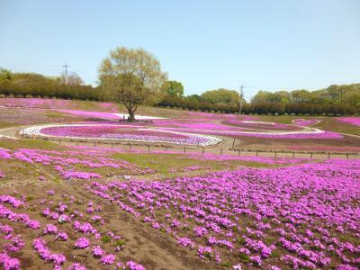みさと芝桜公園・・ピンクの丘で気持ちよい春~♪