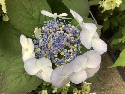 兵庫どうでしょ! 森林植物園で紫陽花を愛でるはずが・・・編
