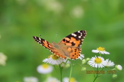 2021森のさんぽ道で見られた蝶(29)ヒメアカタテハ、ツマグロヒョウモン、テングチョウ、ベニシジミ等