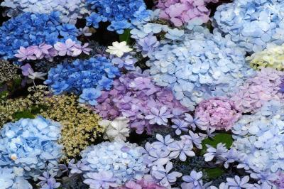 梅雨入り前の鎌倉でアジサイ散策  ~稲村ガ崎・長谷寺・光則寺~