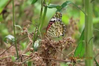 2021森のさんぽ道で見られた蝶(30)ツマグロヒョウモン、ゴマダラチョウ、ルリタテハ、キチョウ、ツバメシジミ等