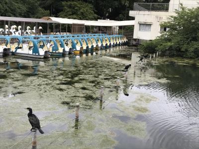 井の頭公園・カワウ