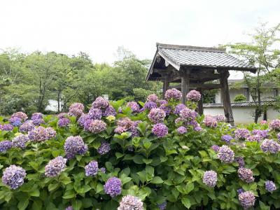 月照寺の紫陽花