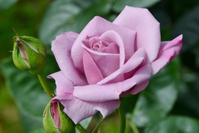 馬見丘陵公園でバラ・シャーレポピー・その他季節の花を楽しむ