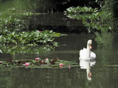 小さな白鳥池と名残紫陽花