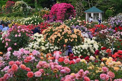 京成バラ園でのバラ鑑賞