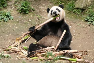 【5】佛坪熊猫谷~秦嶺パンダと四川パンダを見分けられますか?