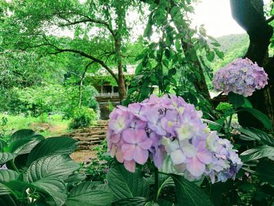 長野市若穂地区 蓮台寺の紫陽花