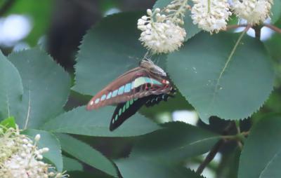 2021森のさんぽ道で見られた蝶(31)アオスジアゲハ、トラフシジミ、クロコノマチョウ、ヒメアカタテハ等