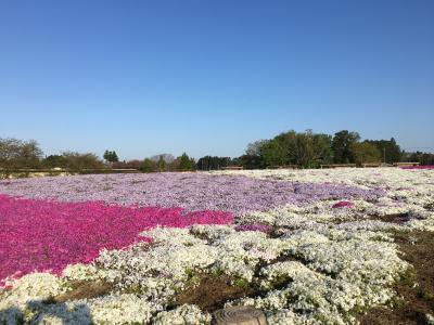 日曜日の早朝に御成街道沿いの富田さとにわ耕園に行き、芝桜やポピー、ネモフィラをゆったりと鑑賞